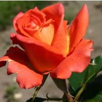Narancs-vöröses árnyalatú tearózsa - 'Monica'