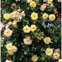 Fehér, törpe mini rózsa - 'Moonlight Lady'
