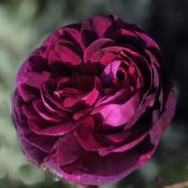 Bíborszínű,  történelmi bokor rózsa - 'Nuits de Young'