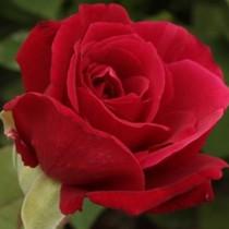Vörös tearózsa - 'Pannonhalma'