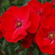 Vörös ágyásrózsa - 'Paprika'