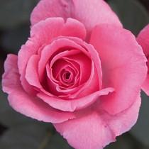 Rózsaszín tearózsa -'Pariser Charme'