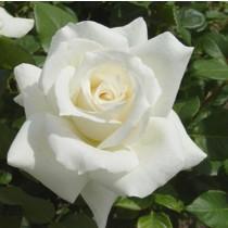 Fehér tearózsa - 'Pascali'