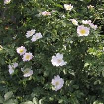 Fehér bokor rózsa, vadrózsa - 'Paulii'