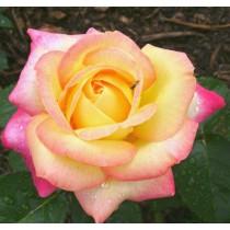 Sárga-rózsaszín tearózsa - 'Peace'