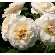 Barackos krémszínű, romantikus rózsa - 'Perdita'