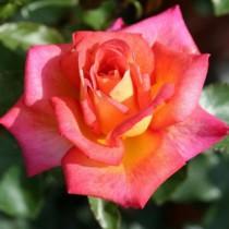 Vörös-sárga tearózsa - 'Piccadilly'