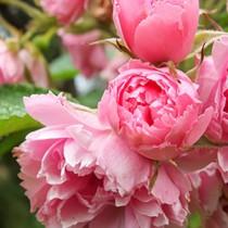 Pink színű parkrózsa - 'Pink Grooterndorst'