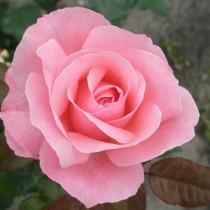 Rózsaszín ágyásrózsa -'Queen Elizabeth'