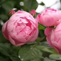 Rózsaszín  parkózsa - 'Raubritter'