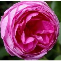 Sötétrózsaszín történelmi rózsa - 'Rose des Peintres'