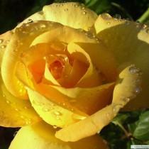 Sárga futórózsa - 'Royal Gold'