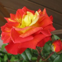 Vörös-sárga ágyásrózsa - 'Rumba'
