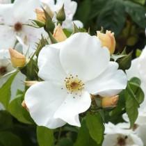 Fehér bokor rózsa - 'Sally Holmes''