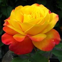 Aranysárga-narancsos szélű ágyásrózsa- 'Samba'