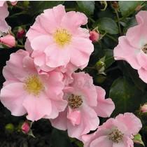 Világos rózsaszín, talajtakaró rózsa - 'Satin Haze'