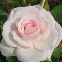 Fehér-rózsaszín futórózsa - 'Schwanensee'