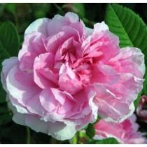Rózsaszín futórózsa - 'Souvenir de J.Mermet'