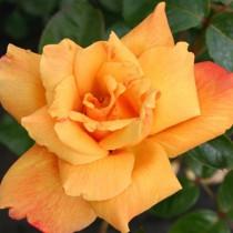 Narancssárga futórózsa -'Sutter's Gold'