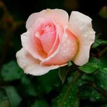 Rózsaszín tearózsa - 'Sweet Promise'