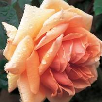 Narancsszínű tearózsa - 'Tapestry'