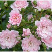 Halványrózsaszín talajtakaró rózsa - 'The Fairy'