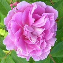 Rózsaszín - cirmos parkrózsa - 'Therese Bougnet'