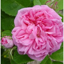 Rózsaszín történelmi rózsa - 'Typ Kassel'