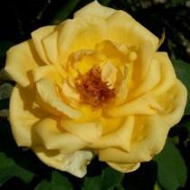Sárga  tearózsa - 'Venusic'