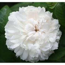 Fehér, történelmi rózsa - 'White Jacques Cartier''