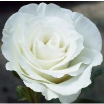 Fehér ágyásrózsa - 'White Magic'