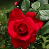 Vörös futórózsa -'Zebrina'