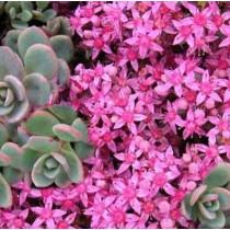 Rózsáskék varjúháj 'Sachalin'