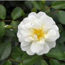 Fehér talajtakaró rózsa - 'Schneekönigin'