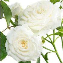 Fehér törperózsa - 'Schneeküsschen'