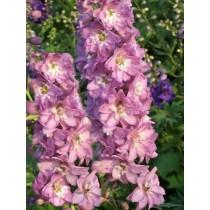 Kerti szarkaláb lilás rózsaszín-fehér