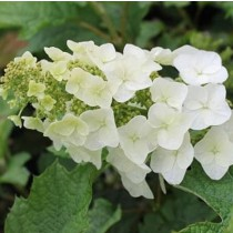 Tölgylevelű hortenzia 'Amethyst'