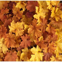 Tűzgyöngyvirág -'Caramel'