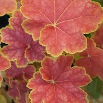 Tűzgyöngyvirág - 'Tiramisu'