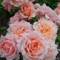 Lazacrózsaszín, romantikus rózsa -'Versigny'