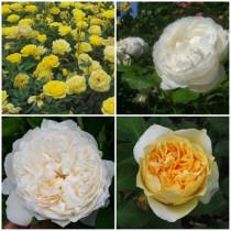 Vidéki kert - fehér - sárga rózsák 4 db