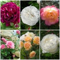 Vidéki kert - vegyes színű rózsák1. 6 db