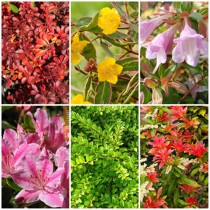 Vidéki kert - örökzöldek1. 6 db