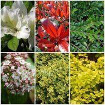 Vidéki kert - örökzöldek2. 6 db