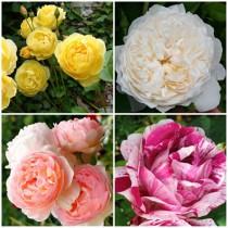 Vidéki kert - romantikus rózsák 4 db