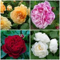 Vidéki kert - vegyes rózsák 4 db