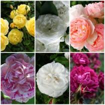 Vidéki kert - vegyes színű rózsák2.6 db