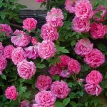 Rózsaszínű  futórózsa - 'Zephinire Drouhin'