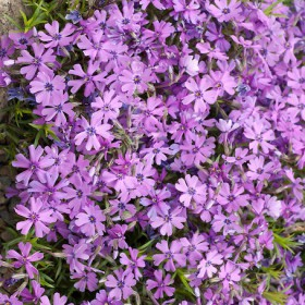Árlevelű lángvirág -'Purple Beauty'
