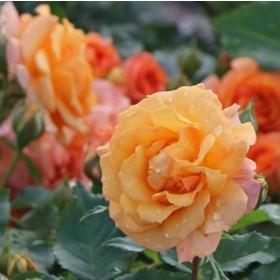 Narancssárga ágyásrózsa - 'Bentheimer Gold'